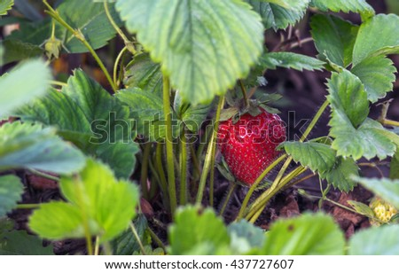 Fresh red strawberry with stems in the plantation, horizontal shot, selective focus