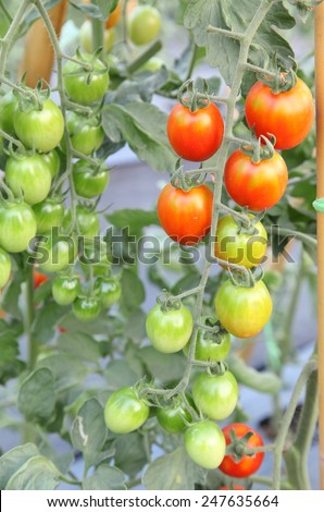 Fresh red tomatoes on the plant - stock photo