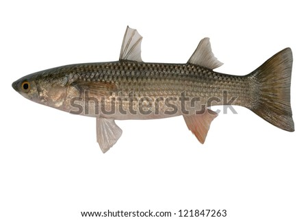 Fresh Redlip mullet isolated on white background