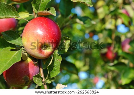 Fresh ripe apple on apple tree branch in the garden close up - stock photo