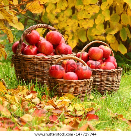 Fresh ripe apples in the basket. Picture on theme autumn at the bio garden.  - stock photo