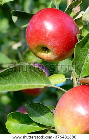 Fresh ripe apples on apple tree branch in the garden - stock photo