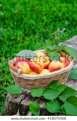 Fresh ripe apricot in wooden basket on the garden. Selective focus