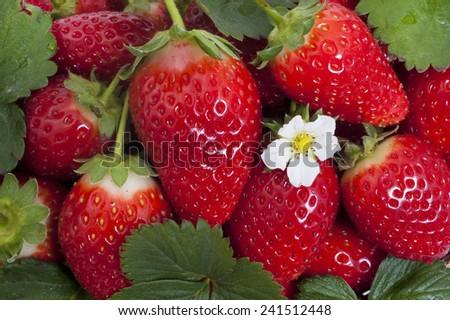 fresh ripe beautiful strawberry - stock photo