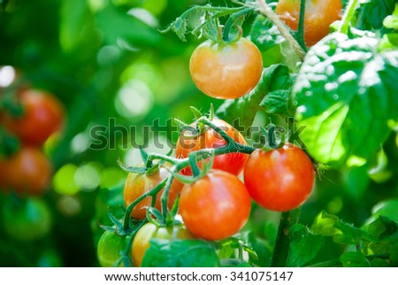 Fresh Ripe Cherry Tomatoes on The Plant