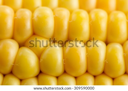 fresh ripe corn cobs, macro - stock photo