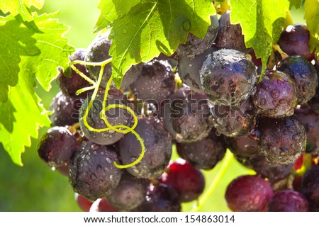 Fresh ripe grapes in vineyard - stock photo