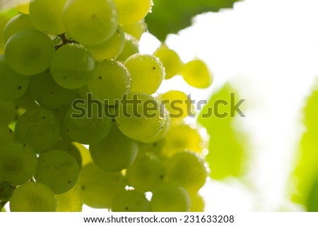 fresh ripe grapes on the nature - stock photo