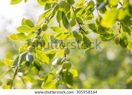 fresh ripe green plums growing in the tree - stock photo