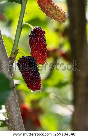 Fresh ripe mulberry berries on tree - stock photo
