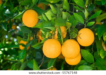 Fresh, ripe organic oranges hanging on an orange tree.