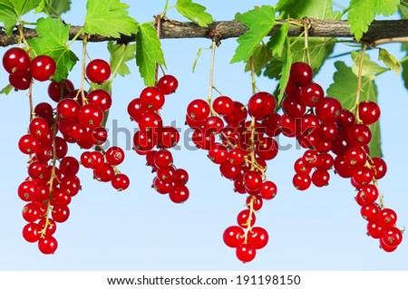 Fresh ripe red currant - on a blue background - stock photo