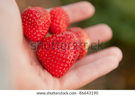 Fresh ripe red strawberries in a child's hand