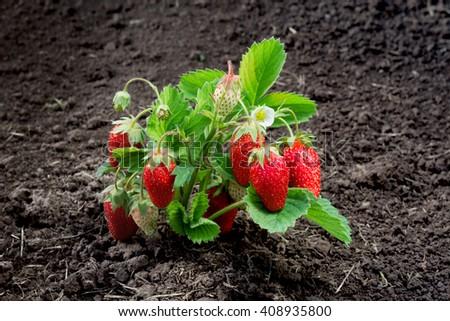 how to draw a strawberry bush