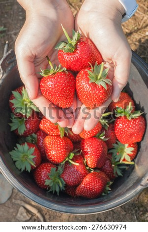 Fresh ripe strawberry in hand with natural background. Shallow depth of field. - stock photo