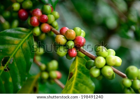 Fresh ripening Coffee Cherries on coffee trees with Selective Focus  - stock photo