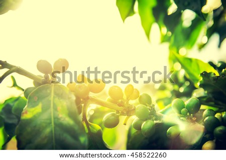 Fresh ripening Coffee Cherries on coffee trees with Selective Focus , vintage tone - stock photo