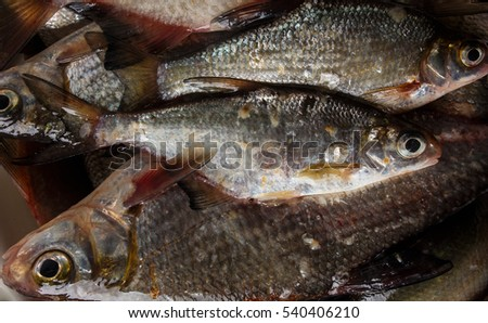 fresh river fish. close-up