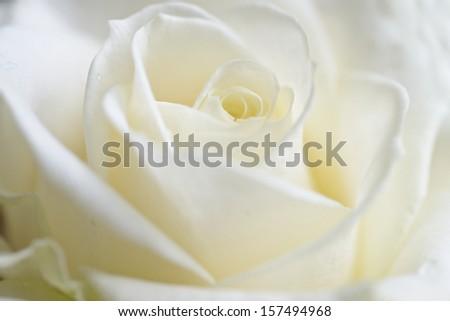 fresh rose background , closu up , soft focus - stock photo