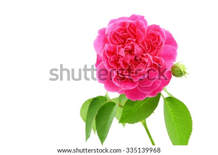 fresh rose from garden isolated on white background