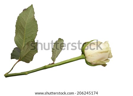 Fresh rose light beige color on a white background - stock photo
