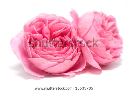 Fresh rose on a white background