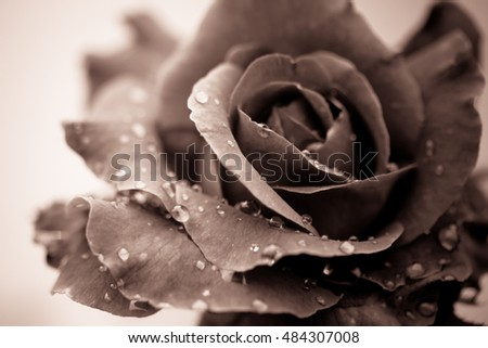Fresh rose with water drops on white background