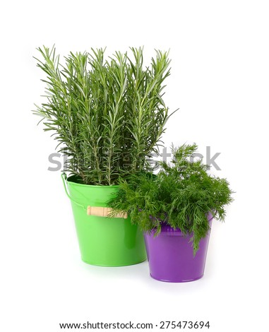 Fresh rosemary and fennel in buckets on a white background.