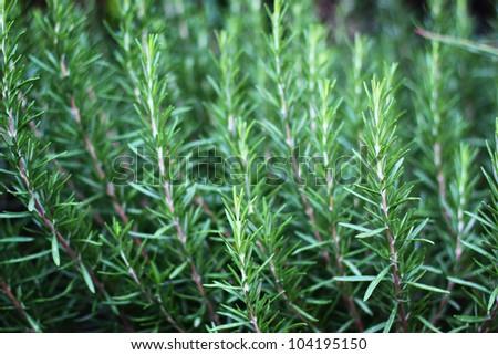 Fresh Rosemary Herb - stock photo