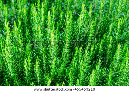 Fresh Rosemary Herb bush grow outdoor. Rosemary leaves Close-up. Traditional European Mediterranean Agriculture. - stock photo