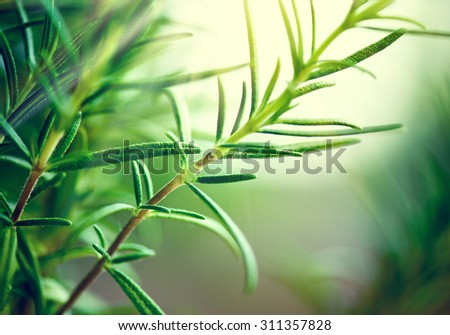 Fresh Rosemary Herb grow outdoor. Rosemary leaves Close-up. Fresh Organic flavoring plants growing. Seasonings, Nature healthy flavoring, cooking. Ingredients for food - stock photo
