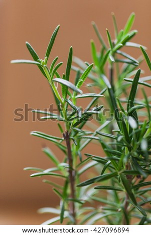 Fresh Rosemary Herb grow outdoor. Rosemary leaves Close-up. Fresh Organic flavoring plants growing. Seasonings, Nature healthy flavoring, cooking - stock photo