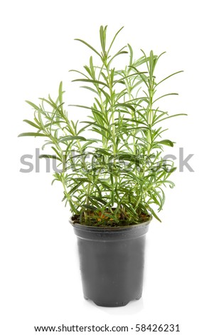 fresh rosemary herb in pot over white background