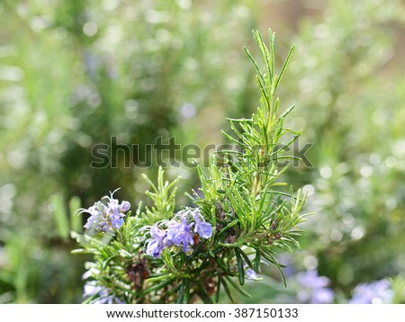 Fresh Rosemary Herb With Blossoming Flowers