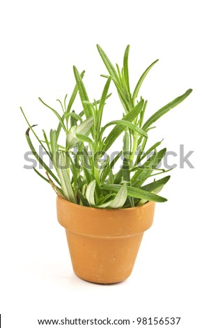 Fresh rosemary in a clay pot.