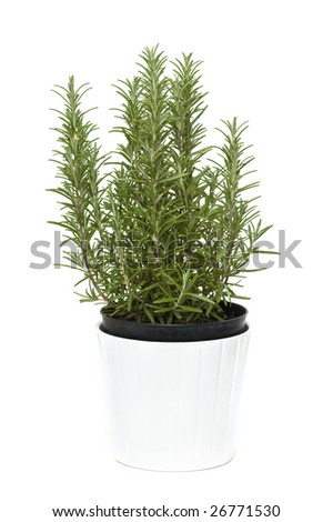 Fresh rosemary in a pot, isolated