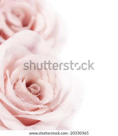Fresh Roses Border - stock photo