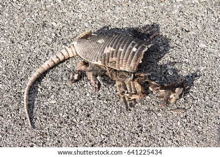 Fresh run over armadillo on Mexican road