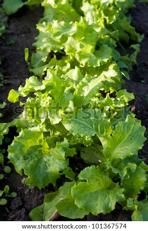 Fresh salad lettuce in a greenhouse - stock photo