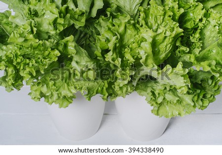 Fresh salad lettuce leaves on a white wooden background horizontal isolated top view - stock photo