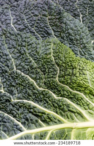 fresh savoy cabbage leaf as a texture  - stock photo