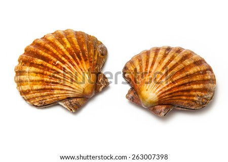 Fresh Scallops saltwater clams isolated on a white studio background. - stock photo