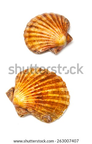 Fresh Scallops saltwater clams isolated on a white studio background.