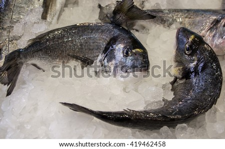 Fresh sea bass on ice in the greek fish market prepared for sale and infront some empty space. Sea bass fish on ice. Horizontal. Daylight. Close. - stock photo