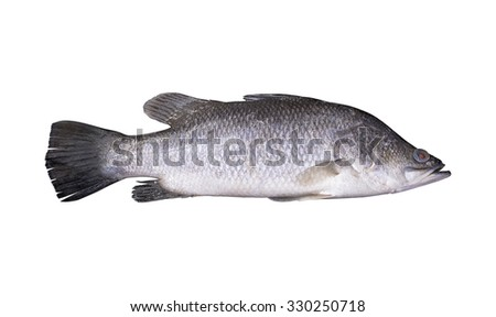 Fresh sea perch fish isolated on white background.
