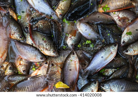Fresh Siamese mud carp prepared for sale.