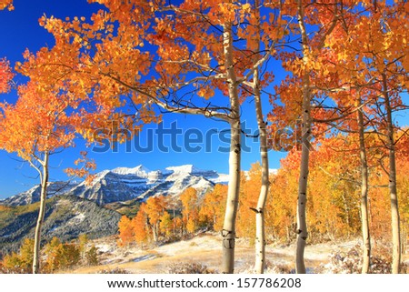 Fresh snow in a colorful aspen glade in the Utah mountains, USA. - stock photo