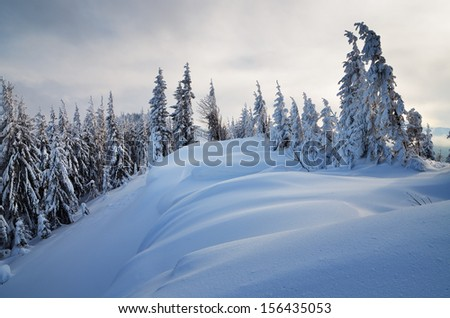 Fresh snow in winter in a mountain forest