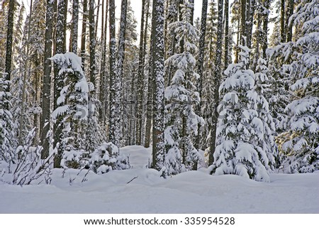 Fresh snow on Pine Forest on early winter morning. British Columbia CAN