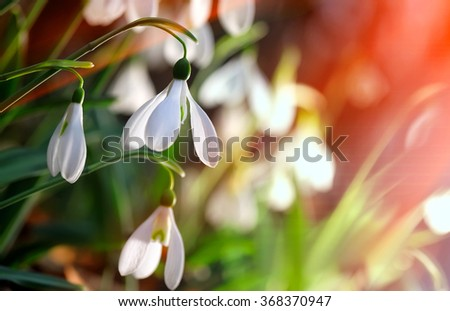 Fresh snowdrop on green background. Natural composition